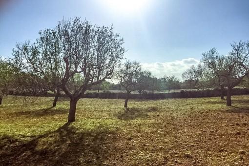 Terrain à S'Alqueria Blanca