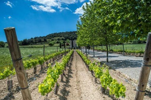 Mallorquin grape vines