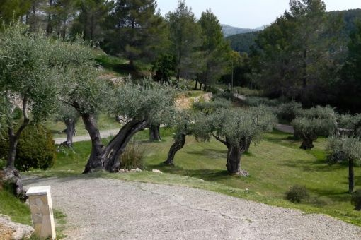 Garden with more than 180 olive trees